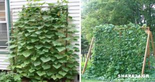 Κάντε αυτή την Εργασία ώστε τα Αγγούρια & οι Κολοκύθες να Μεγαλώσουν Κάθετα στον Κήπο