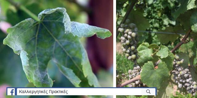 Συμπτώματα προσβολής ωιδίου σε φύλλο και σταφύλια αμπλέου