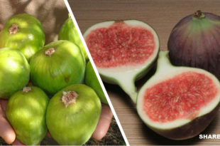 Σύκο: Το Κορυφαίο Αλκαλικό Φρούτο που Σηκώνει Ασπίδα έναντι του Καρκίνου