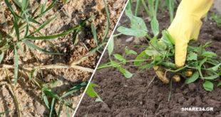 10 Τρόποι να Απαλλαγείτε από τα Ζιζάνια χωρίς τη Χρήση Επικίνδυνων Χημικών