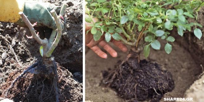 Πώς θα Φυτέψουμε μια Τριανταφυλλιά σε μια Νέα Θέση στον Κήπο Ή σε Μεγαλύτερη Γλάστρα