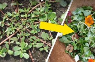 Αν Δεις Γλυστρίδα (Αντράκλα) να Φυτρώνει στον Κήπο Σου, μην την Πετάξεις!