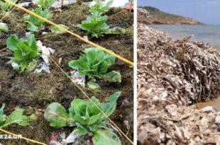 Φύκια της Θάλασσας για Λίπασμα - Διαβάστε πώς μπορείτε να τα Χρησιμοποιήσετε στο Λαχανόκηπο για Μεγαλύτερη Παραγωγή!