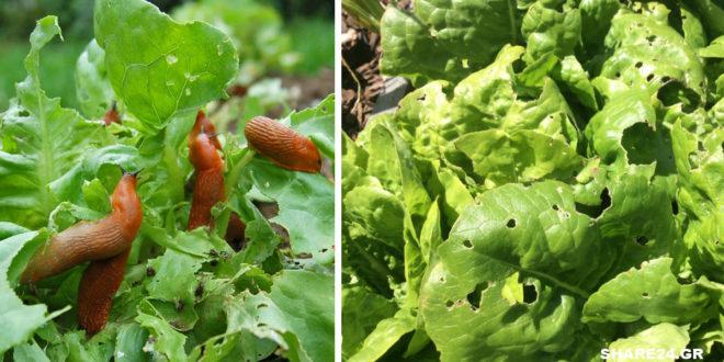 Γυμνοσάλιαγκες στα φυτά μου! 5 Τρόποι για να τους διώξετε με φυσικό τρόπο!