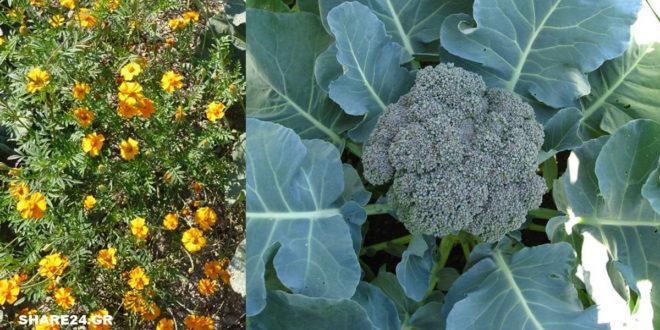 Συγκαλλιέργεια με το Μπρόκολο - Ποιά Φυτά να Φυτέψουμε Δίπλα του Ώστε να το Βοηθήσουν στην Ανάπτυξή του