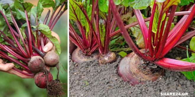 Τα Μυστικά της Καλλιέργειας του Παντζαριού στον Λαχανόκηπο