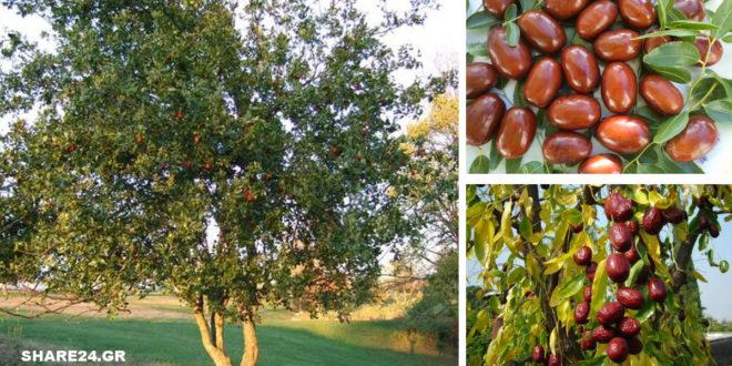 Τζιτζιφιά - Οι Θαυμαστές Ιδιότητές του που το έχουν Κάνει Γνωστό σαν Δέντρο Γιατρός