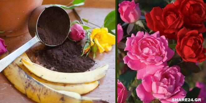 Με τις Φλούδες της Μπανάνας & το Κατακάθι του Καφέ θα Γεμίσει η Αυλή σας Τριαντάφυλλα!