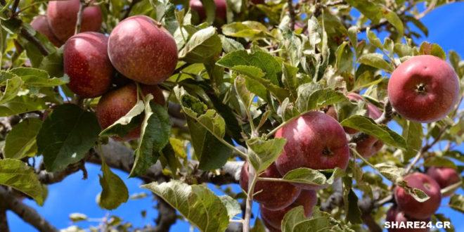 Γιατί τα μήλα πέφτουν από το δέντρο πριν ωριμάσουν; Οι λόγοι της προσυλλεκτικής καρπόπτωσης και πώς να την αντιμετωπίσετε.