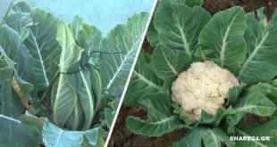 Πώς να Καλλιεργήσουμε Κουνουπίδι! Συμβουλές για τη Φύτευση, την Ανάπτυξη και τη Συγκομιδή!