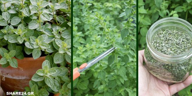 Τα Μυστικά της Καλλιέργειας της Ρίγανης, που θα Πρέπει να Ξέρετε πριν Φυτέψετε!