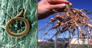 Τι είναι οι Νηματώδεις Σκώληκες; Είναι Φίλοι του Εδάφους ή Επικίνδυνα Παράσιτα για τα Φυτά μας;