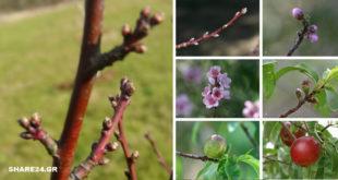 Τι είναι οι Οφθαλμοί των Φυτών και Πώς Διαιρούνται σε Ανθοφόρους και Βλαστοφόρους