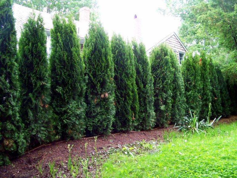 Τούγιες για φράχτη κήπου