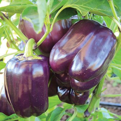 Μωβ πιπεριές