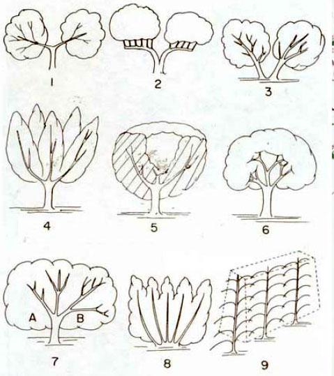 Διάφορα συστήματα διαμόρφωσης του σχήματος του σκελετού της ελιάς