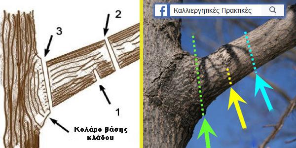 Κλαδεύουμε τους μεγάλους βραχίονες με 3 τομές για να μην τραυματίσουμε το δέντρο