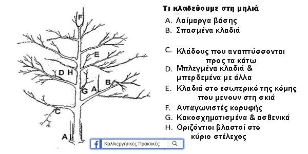 Ποια κλαδιά και κλαδίσκους κλαδεύουμε στη μηλιά σε σχηματική αναπαράσταση