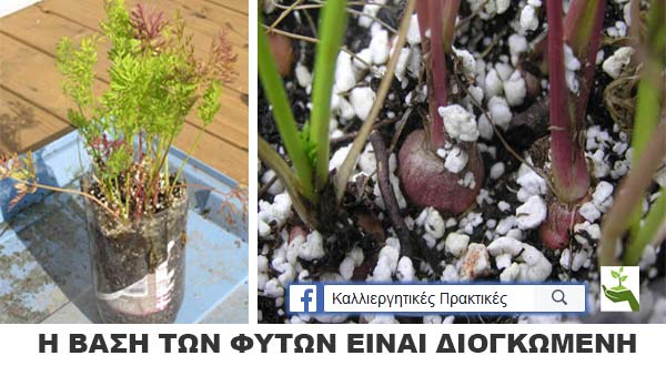 Φυτεύω καρότα σε μπουκάλα αναψυκτικού - Τα φύλλα μπορεί να φαίνονται νωθρά, αλλά τα καρότα έχουν σχηματιστεί κάτω
