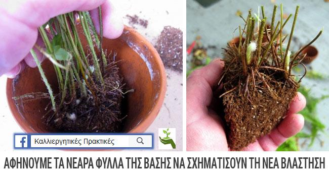 Πολλαπλασιασμός φτέρης με διαίρεση: Αφήνουμε τα νεαρά φύλλα να δώσουν τη νέα βλάστηση