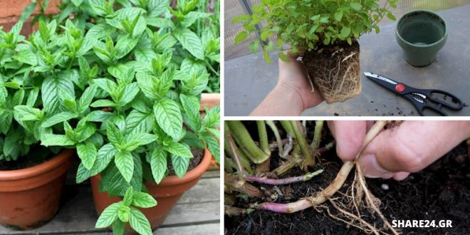Φυτεύω δυόσμο και μέντα στον κήπο