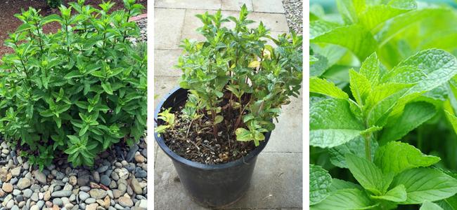 Μέντα και δυόσμος σε συγκεκριμένη θέση στον κήπο με χαλίκι. Ρίζες και πολλαπλασιασμός δυόσμου και μέντας με μοσχεύματα