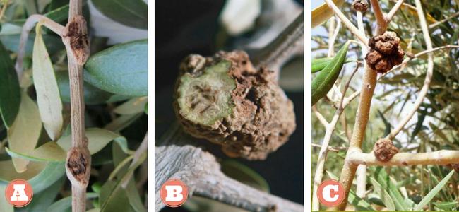 Καρκίνωση της ελιάς - Όγκοι και φυμάτια πάνω σε κλάδους ελιάς - Τομή σε όγκο που οφείλεται στο παθογόνο Pseudomonas savastanoi