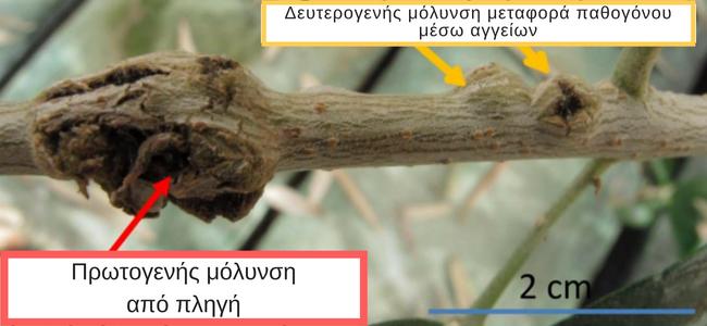 Κλάδος ελιάς με πρωτογενή και δευτερογενή μόλυνση από το παθογόνο Pseudomonas savastanoi που προκαλέι την καρκίνωση της ελιάς