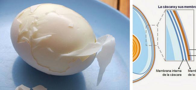 Οι μεμβράνες του αυγού κάτω από το κέλυφος