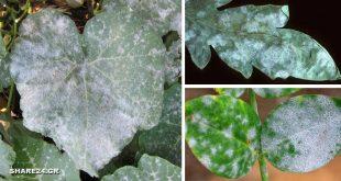 Μυκητολογική Ασθένεια Ωίδιο - Γιατί τα Φύλλα των Φυτών έχουν μια Άσπρη Σκόνη πάνω τους & Πώς να το Αντιμετωπίσω!