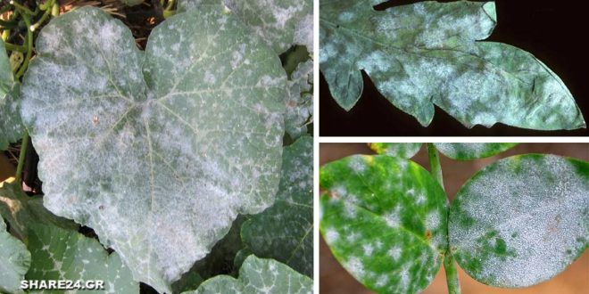 Μυκητολογική Ασθένεια Ωίδιο – Γιατί τα Φύλλα των Φυτών έχουν μια Άσπρη Σκόνη πάνω τους & Πώς να το Αντιμετωπίσω!