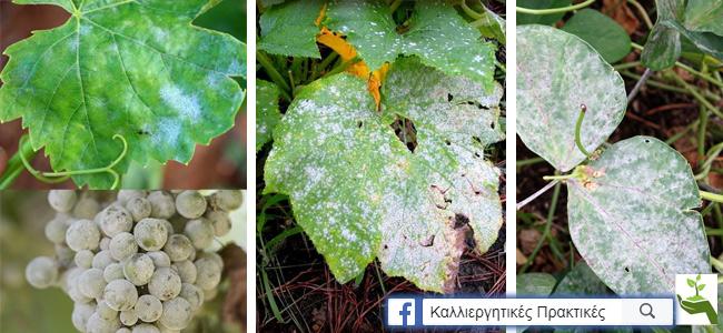 Ωίδιο σε φύλλα και σταφύλια αμπελιού, σε φύλλα κολοκυθιάς και σε φύλλα φασολιάς