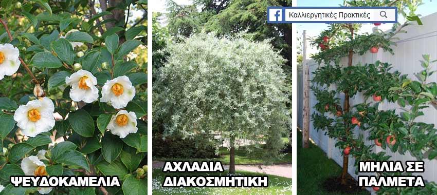 Δέντρα για μικρούς κήπους: Ιαπωνικός Ψευδοκαμέλια, διακισμητική αχλαδιά, μηλιά σε σχήμα παλμέτας