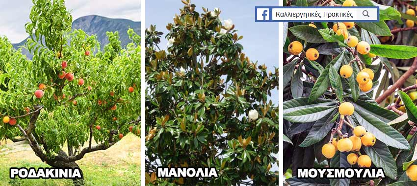 Δέντρα για μικρούς κήπους: Ροδακινιά, Μανόλια, Μουσμουλιά
