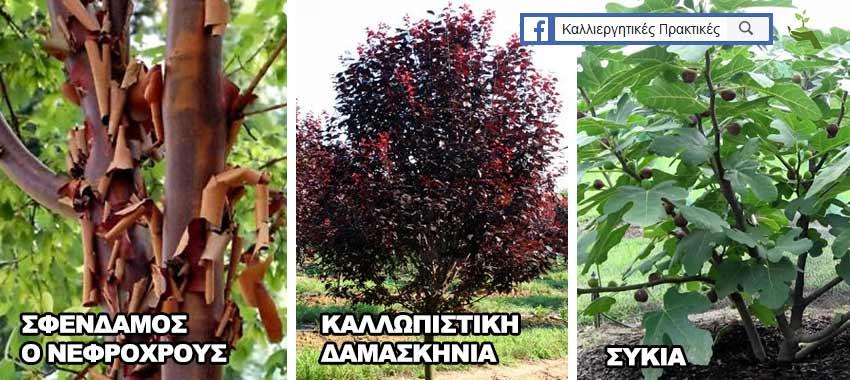 Δέντρα για μικρούς κήπους: καλλωπιστική δαμασκηνιά, Συκιά