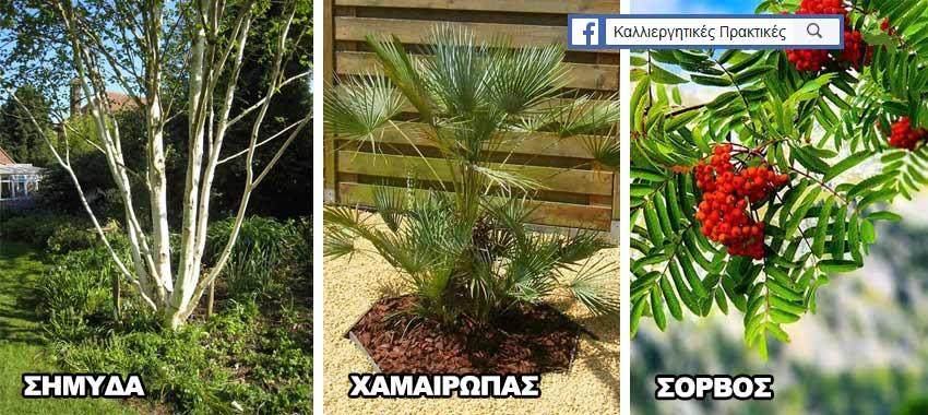 Δέντρα για μικρούς κήπους: Σημύδα, Χαμαίρωψ, Σόρβο